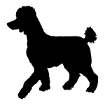 Poodle, Standard Unclipped